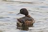 Tufted Duck, Troldand, Aythya fuligula, Female, Vaserne, Holte, Danmark, March-2017