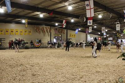 MD State Fair Holstein Heifers 2017