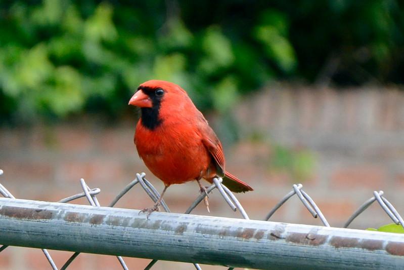 Cardinal (RedBird)