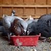 VL 050917 DEAN PIGEONS EAT