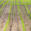 MET 051517 Corn Lines