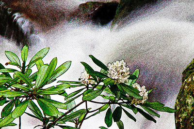 Rhododendron by the River