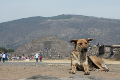 Dog on the Avenue of the Dead.  Pyramid of the Moon in back.