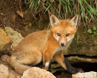 DA054, DN, Fox Kit near Den