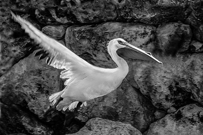 DA058,DB,Pelican in flight