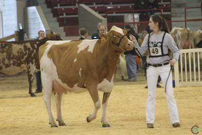 NY Spring Ayrshire Cow Show 2017