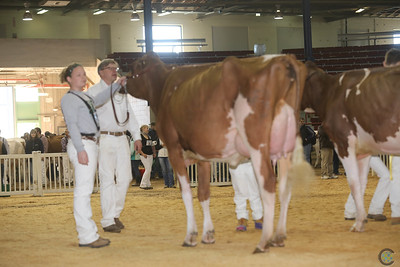 NY Spring Red Holstein Cows 2017