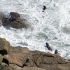 Seals in the surf at Cape Foulwind
