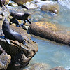 Seals at Cape Foulwind