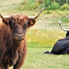 Scottish Longhorn Cattle at Rippon Winery