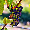 Pinot Noir grapes ripening @ Gibbston Valley Winery