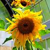 Sunflower at Auckland Wintergarten