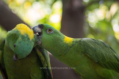 Green Parrots, Potosi