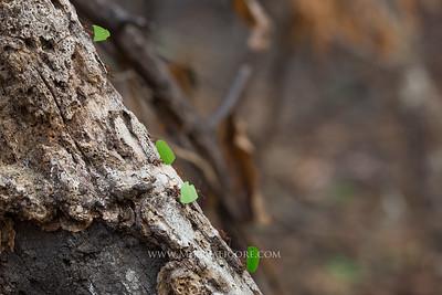 Leaf Cutter Ants, Cosiguina