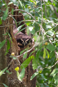 Owl, Cosiguina