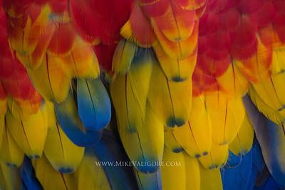 Scarlet Macaw, Potosi