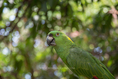 Green Parrot, Potosi