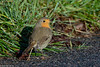 European robin, Rødhals, Erithacus rubecula, Strødam, Danmark, Dec-2017