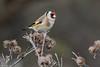 European Goldfinch, Stillits; Carduelis carduelis, Strødam engsø, danmark, Nov-2017
