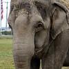 MET 100517 Elephant 2