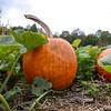 MET 100817 Pumpkin