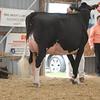 OntarioSummer2017_Holstein_1M9A2953