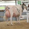 OntarioSummer2017_Holstein_1M9A3053