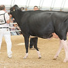 OntarioSummer2017_Holstein_1M9A3214