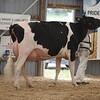 OntarioSummer2017_Holstein_1M9A3180