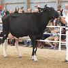 OntarioSummer2017_Holstein_1M9A2981