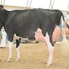 OntarioSummer2017_Holstein_1M9A3099