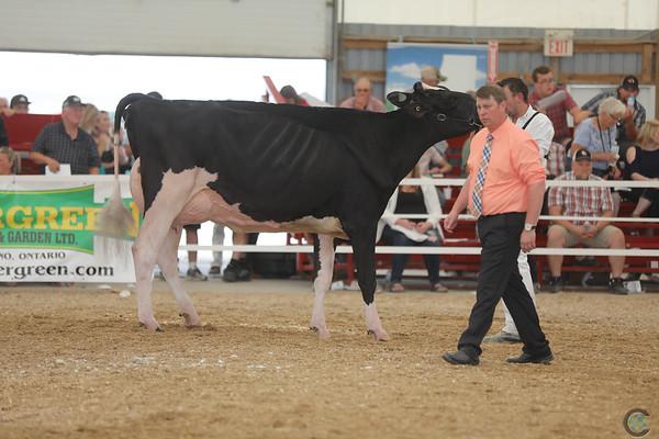 OntarioSummer2017_Holstein_1M9A3193