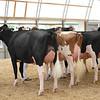 OntarioSummer2017_Holstein_1M9A2826