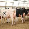 OntarioSummer2017_Holstein_1M9A3167