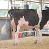 OntarioSummer2017_Holstein_1M9A2886