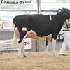 OntarioSummer2017_Holstein_1M9A2756