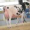 OntarioSummer2017_Holstein_1M9A3078