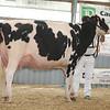 OntarioSummer2017_Holstein_1M9A3057