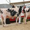 OntarioSummer2017_Holstein_1M9A3028