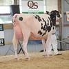 OntarioSummer2017_Holstein_1M9A3080