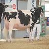 OntarioSummer2017_Holstein_1M9A3076