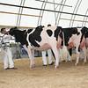 OntarioSummer2017_Holstein_1M9A2928