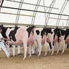 OntarioSummer2017_Holstein_1M9A2918