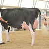 OntarioSummer2017_Holstein_1M9A3101