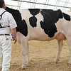 OntarioSummer2017_Holstein_1M9A2901