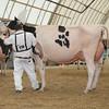 OntarioSummer2017_Holstein_1M9A3124