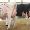 OntarioSummer2017_Holstein_1M9A3227