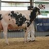 OntarioSummer2017_Holstein_1M9A3089