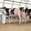 OntarioSummer2017_Holstein_1M9A2926
