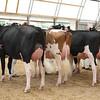OntarioSummer2017_Holstein_1M9A2824